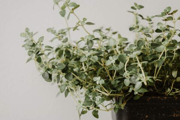 Growing and Using Herbs in Your Kitchen